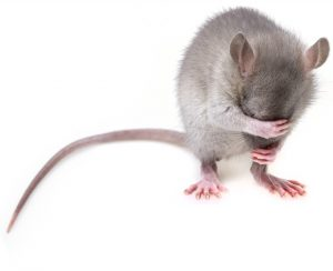 ratas Centro Veterinario Bormujos