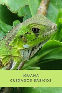 Iguanas veterinario exóticos