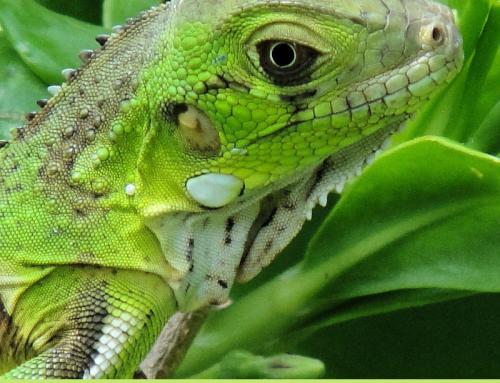 Iguana: cuidados básicos