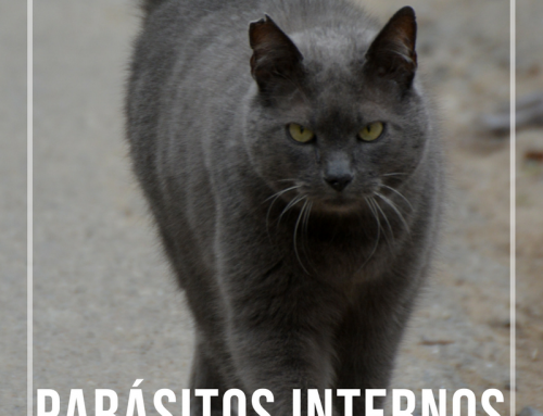 Parásitos internos en gatos
