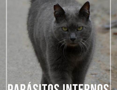Parásitos internos en gatos