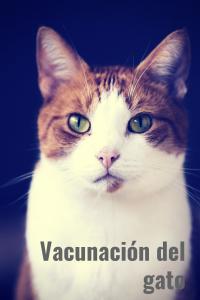 vacunación del gato